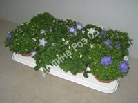 Campanula 11 cm pot mixed tray (Кампанула)