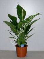 Spath. 19 cm pot Sw. Lauretta (Спатифиллум)