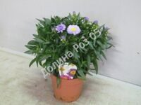 Aster 12 cm pot Starletta Ice Blue (Астра)