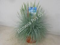 Festuca 23 cm pot Intense blue