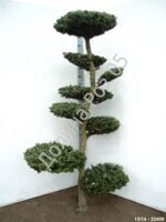 Abies koreana Bonsai № 3