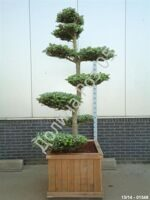 Abies koreana Bonsai  № 4