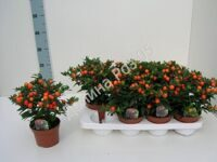 Solanum 14 cm pot Bartoli orange (Паслен)