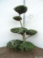 Abies koreana Bonsai