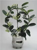 Stephanotis 12 cm pot glass Granda silver hoop 9-10 gr.