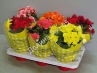 Begonia 13 cm pot mixtray GELE HOES