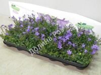 Campanula  7 cm pot Ambella Purple (Кампанула)