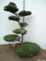 Abies koreana Bonsai № 5
