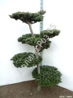 Abies koreana Bonsai № 2