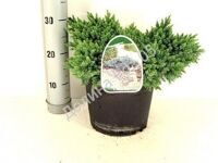Juniperus 23 cm pot squa Blue Star