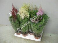 Astilbe 15 cm pot mixtray (Астильба)