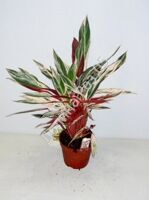 Stromanthe 17 cm pot Multicolor (Строманта)