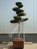 Chamaecyparis o. 'Fontana'Bonsai № 14