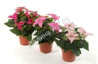 Princettia Pink 12 cm pot mixtray (Пуансеттия)